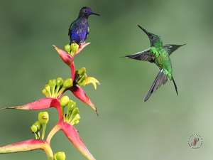 Velvet-purple coronet and  Empress Brilliant