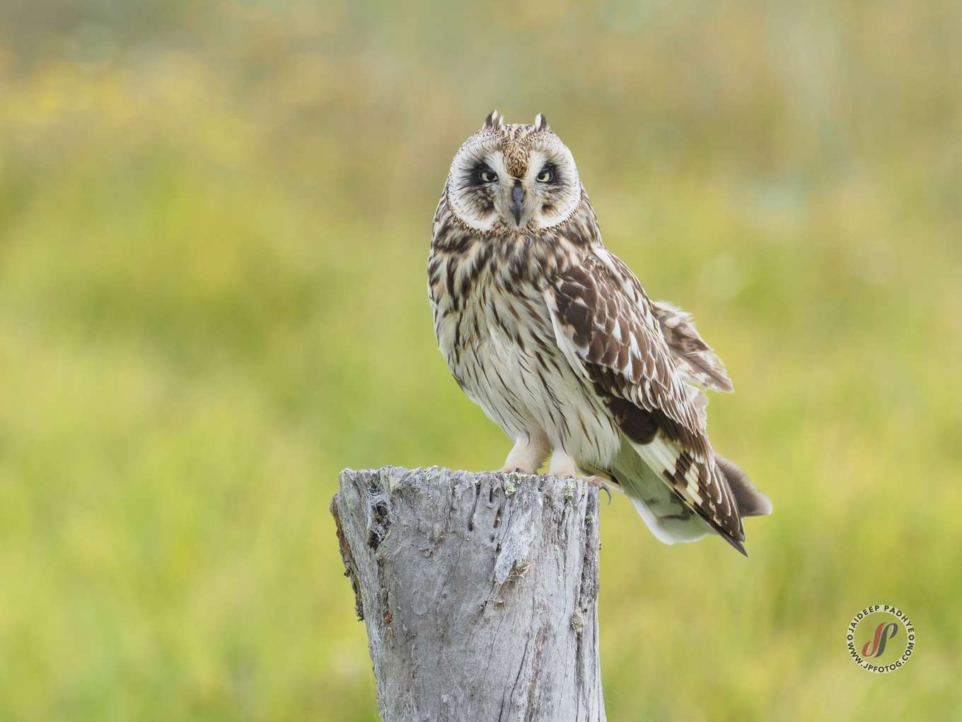 Hawaiian Short-eared Owl